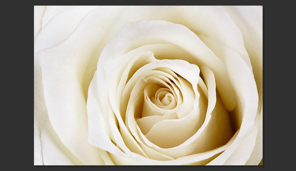 Carta Da Parati Rosa Bianca : Carta da parati purezza di una rosa bianca fotomurale carta parati